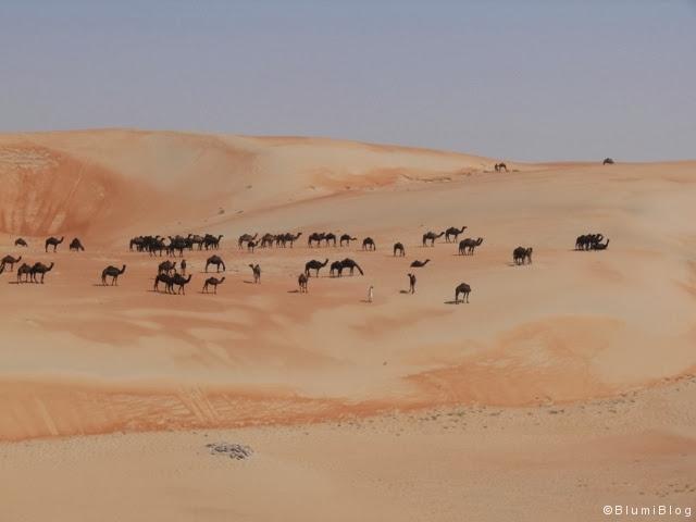 Eine Herde Kamele in der farblich einmaligen Wüste!