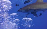 Weißspitzenhochseehai am Elphinstone Reef