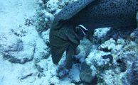 Muränenschau im Roten Meer